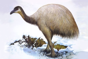 The upland moa Megalapteryx didinus (Illustration Peter Schouten)